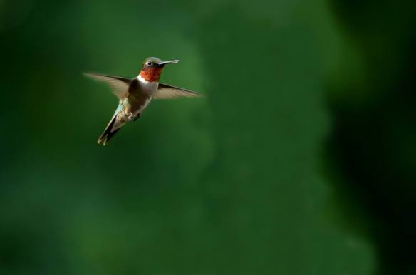 Beautiful Humming Bird